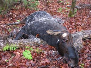 Moose found dead